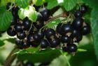 großfrüchtige, schwarze Johannisbeere Titania