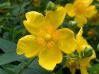 goldenes Johanniskraut Kleinstrauch für die Sonne