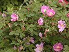 Glanzrose Rosa nitida
