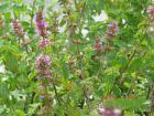 Erdbeer Minze - zierliche Minzsorte mit feinem Aroma und zarter