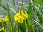 gelbe Sumpfiris, graziele Schönheit am Wasserrand, wasserreinige