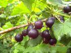 Josta Beere, starkwüchsig und reichtragend wohlschmeckende Fruch